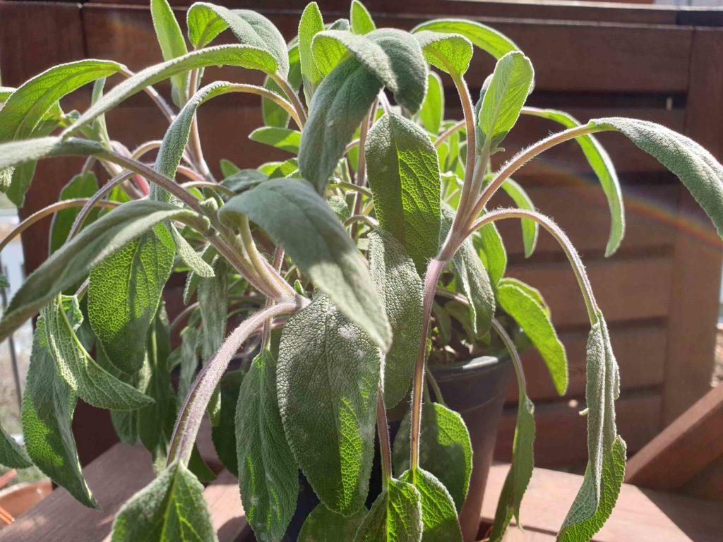 Salbei ist nicht nur als Heilpflanze bekannt, er weist auch einen Polyphenolgehalt auf
