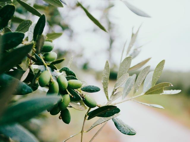 Der Polyphenolgehalt im Olivenöl hängt unter anderem von der Olivensorte ab