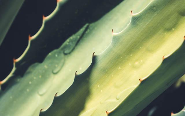 Aloe Vera enthält Polyphenole